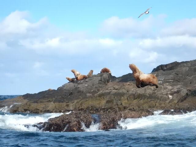 北海道:無人島に大量のトド出現!!