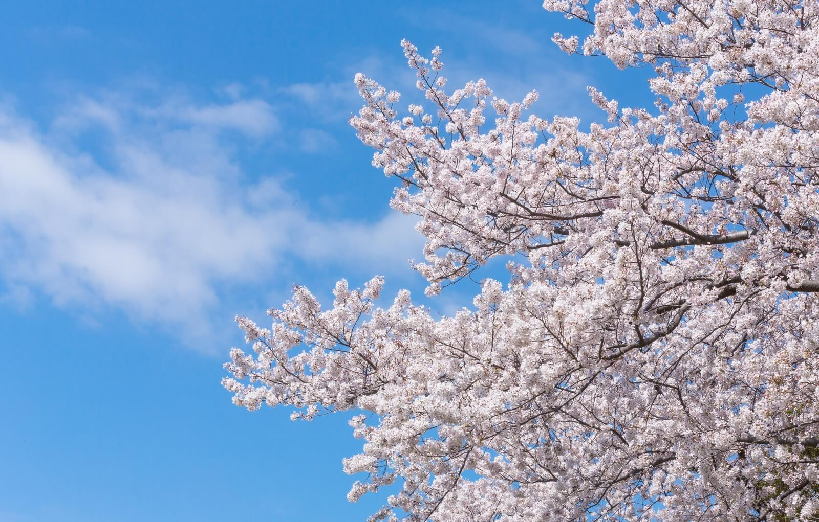 北海道札幌市:桜開花しました!しかもあの花も同じ日に開花!