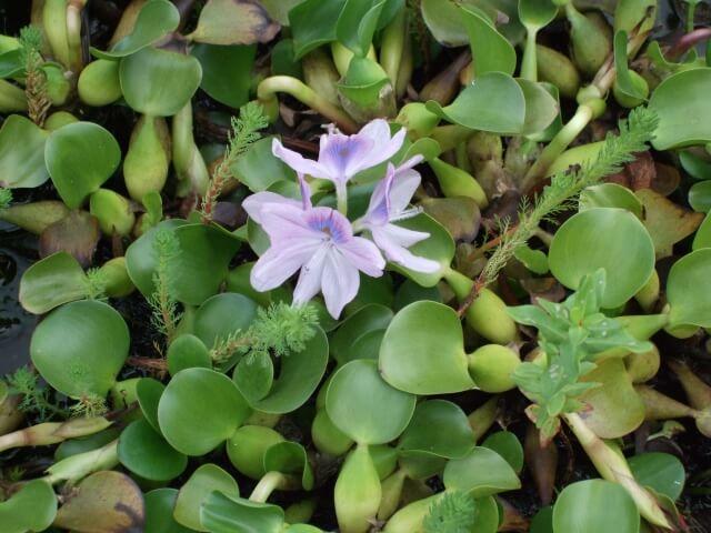 日本各地で大繁殖中!ホテイアオイで川が一面緑一色に!